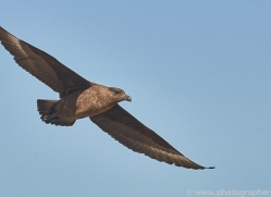 falkland-skua-copyright-photographers-on-safari-com-9062