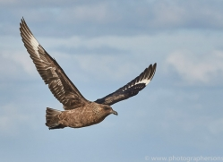 falkland-skua-copyright-photographers-on-safari-com-9064