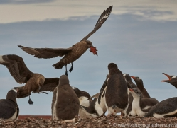 falkland-skua-copyright-photographers-on-safari-com-9065