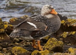 flightless-steamer-duck-copyright-photographers-on-safari-com-9068