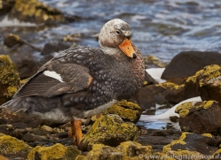 flightless-steamer-duck-copyright-photographers-on-safari-com-9069
