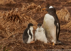 gentoo-penguin-copyright-photographers-on-safari-com-9073