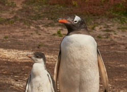 gentoo-penguin-copyright-photographers-on-safari-com-9074