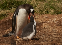 gentoo-penguin-copyright-photographers-on-safari-com-9076