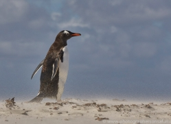 gentoo-penguin-copyright-photographers-on-safari-com-9078