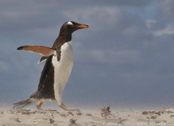 gentoo-penguin-copyright-photographers-on-safari-com-9079