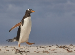 gentoo-penguin-copyright-photographers-on-safari-com-9080
