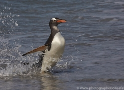 gentoo-penguin-copyright-photographers-on-safari-com-9081