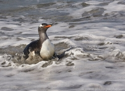 gentoo-penguin-copyright-photographers-on-safari-com-9082