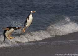 gentoo-penguin-copyright-photographers-on-safari-com-9083