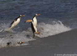 gentoo-penguin-copyright-photographers-on-safari-com-9084