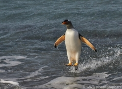 gentoo-penguin-copyright-photographers-on-safari-com-9085