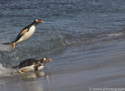 gentoo-penguin-copyright-photographers-on-safari-com-9086