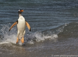 gentoo-penguin-copyright-photographers-on-safari-com-9087