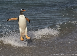 gentoo-penguin-copyright-photographers-on-safari-com-9088
