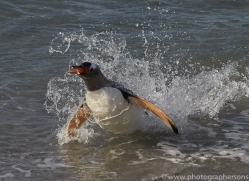 gentoo-penguin-copyright-photographers-on-safari-com-9089
