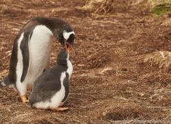 gentoo-penguin-copyright-photographers-on-safari-com-9090