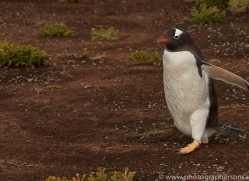 gentoo-penguin-copyright-photographers-on-safari-com-9091