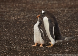 gentoo-penguin-copyright-photographers-on-safari-com-9092