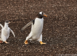 gentoo-penguin-copyright-photographers-on-safari-com-9093
