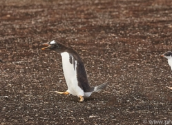 gentoo-penguin-copyright-photographers-on-safari-com-9094