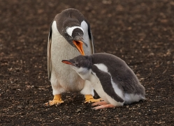 gentoo-penguin-copyright-photographers-on-safari-com-9096