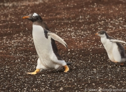 gentoo-penguin-copyright-photographers-on-safari-com-9097