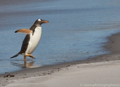 gentoo-penguin-copyright-photographers-on-safari-com-9098