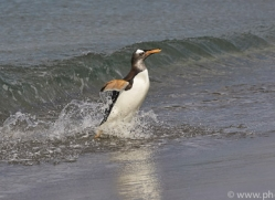 gentoo-penguin-copyright-photographers-on-safari-com-9100