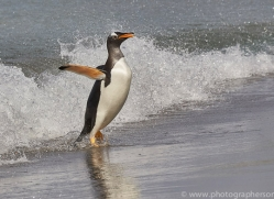 gentoo-penguin-copyright-photographers-on-safari-com-9101
