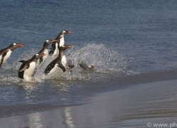 gentoo-penguin-copyright-photographers-on-safari-com-9105