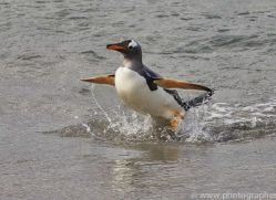 gentoo-penguin-copyright-photographers-on-safari-com-9107