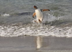 gentoo-penguin-copyright-photographers-on-safari-com-9112