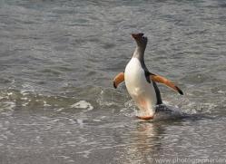 gentoo-penguin-copyright-photographers-on-safari-com-9113