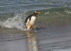 gentoo-penguin-copyright-photographers-on-safari-com-9116