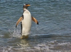 gentoo-penguin-copyright-photographers-on-safari-com-9117