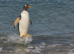 gentoo-penguin-copyright-photographers-on-safari-com-9118
