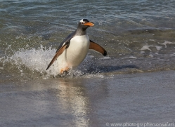gentoo-penguin-copyright-photographers-on-safari-com-9120