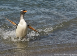 gentoo-penguin-copyright-photographers-on-safari-com-9121