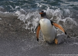 gentoo-penguin-copyright-photographers-on-safari-com-9123