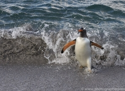 gentoo-penguin-copyright-photographers-on-safari-com-9124