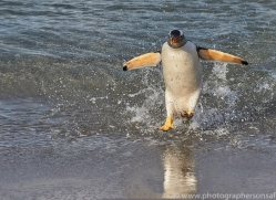 gentoo-penguin-copyright-photographers-on-safari-com-9126