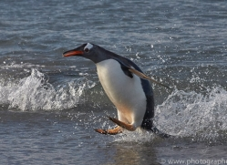 gentoo-penguin-copyright-photographers-on-safari-com-9127