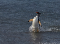 gentoo-penguin-copyright-photographers-on-safari-com-9129
