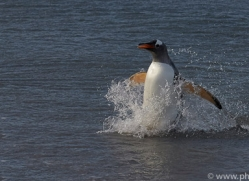 gentoo-penguin-copyright-photographers-on-safari-com-9130