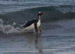 gentoo-penguin-copyright-photographers-on-safari-com-9132
