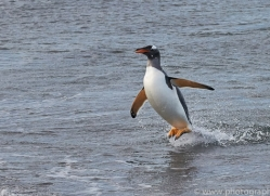 gentoo-penguin-copyright-photographers-on-safari-com-9133