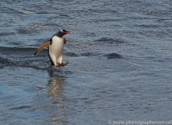 gentoo-penguin-copyright-photographers-on-safari-com-9136