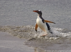 gentoo-penguin-copyright-photographers-on-safari-com-9137