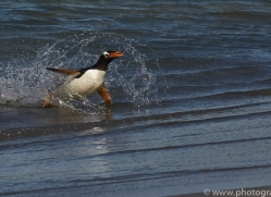 gentoo-penguin-copyright-photographers-on-safari-com-9140